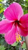 Nice china rose stock photos