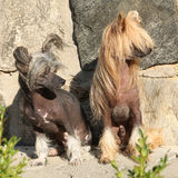 Nice Chinese Crested Dogs Royalty Free Stock Images