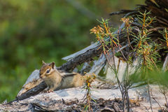 Nice chipmunk. On the fallen dry tree Royalty Free Stock Images