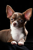 Nice chocolate brown with white Chihuahua dog Royalty Free Stock Photography