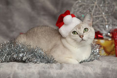 Nice Christmas Burmilla in front of gifts Stock Photo