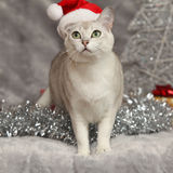 Nice Christmas Burmilla in front of gifts Royalty Free Stock Photography