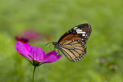Nice Chrysanthemum with butterfly Royalty Free Stock Photography