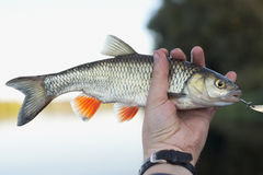 Nice chub in fisherman's hand Royalty Free Stock Photography