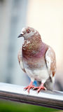 The nice city pigeon Royalty Free Stock Photography