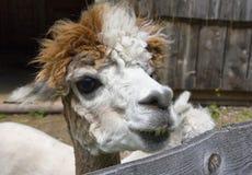 Llama portrait. Nice close-up portrait of funny llama Royalty Free Stock Images