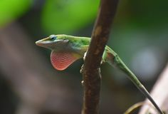 Nice Close Up of a Red Throated Lizard stock photos