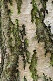 Close up of a Birch Tree Trunk stock image