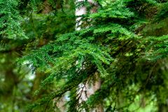 Close up of a Pine Tree royalty free stock photos