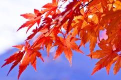 Nice Closeup Maples Stock Photos