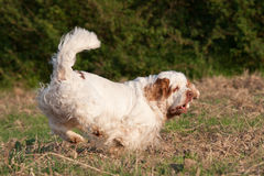 Nice clumber spaniel running Royalty Free Stock Images