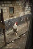 Nice cock Stock Image