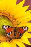 Nice color butterfly perched on sunflower bloom royalty free stock images