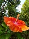 Beautiful hibiscus flower of sri lanka natural photos stock image