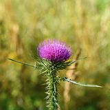 Nice colored thistle with blurred natural background. Stock Image