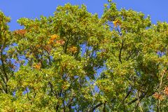 Nice colorful autumn treetop with blue sky stock photography