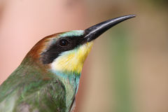 Nice colorful bee-eater Stock Image
