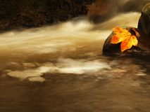 Nice colorful broken maple leaf on basalt stone in blurred water of mountain stream cascade. Royalty Free Stock Images