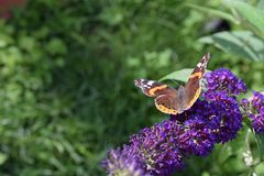 Nice colorful butterfly on the summer flower in my garden Royalty Free Stock Photo