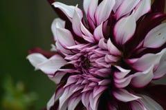 Nice colorful dahlia in my garden stock image