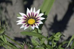 Nice colorful gazania in my garden stock images