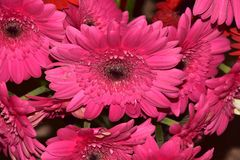 Nice colorful gerbers close up royalty free stock image