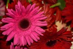 Nice colorful gerbers close up stock photo