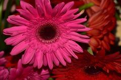 Nice colorful gerbers close up stock photos