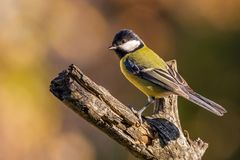 Nice colorful great-tit songbird perched on dry twig. Horizontal photo of single male great tit bird. The songbird has yellow, black and white feathers. Avian Royalty Free Stock Photos