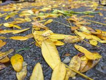 Yellow leafs fallen on the ground Royalty Free Stock Photo