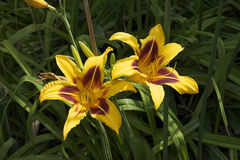 Nice colorful lily close up. Beautiful  colorful lily close up in  the sunshine at my home Stock Images