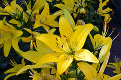 Nice colorful lily close up. Beautiful  colorful lily close up in  the sunshine at my home Stock Photos