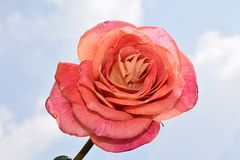 Beautiful colorful rose in my garden stock image