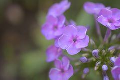 Nice colorful summer flower close up in my garden Royalty Free Stock Photography