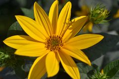 Nice colorful summer flower in my garden stock image