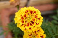 Nice colorful summer flower in my garden Stock Images