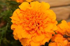 Nice colorful summer flower in my garden Stock Photos