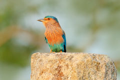Nice colour light blue bird Indian Roller sitting on the stone with orange background. Birdwatching in Asia. Beautiful colour bir. D, Sri Lanka stock photo