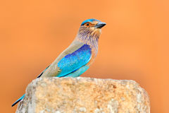 Nice colour light blue bird Indian Roller sitting on the stone  with orange background. Birdwatching in Asia. Beautiful colour bir Stock Image