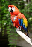 Nice coloured parrot. A really nice and coloured parrot standing on a branch Royalty Free Stock Photography