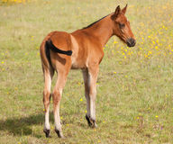 Nice colt in the field Royalty Free Stock Photography