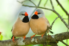 Long-tailed Finch couple Stock Image