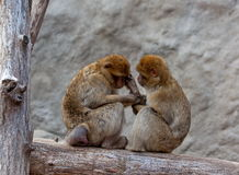 A nice couple of macaques. A nice, kind couple of two macaques, caress each other Stock Image