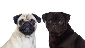 Nice couple of pug dogs. Isolated on white background Stock Image