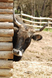 Nice cow. A nice curios cow is looking behind Stock Photography