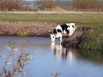 Beautiful cow animal near chanel, Lithuania stock images