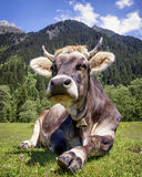 Nice cow Royalty Free Stock Images