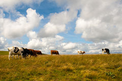 Nice Cows on the Feldberg in Germany Black forest. Royalty Free Stock Image