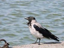 Beautiful crow bird on lake coast, Lithuania Stock Photography