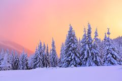 Nice curved fair trees covered with thick layer of snow are enlightened by pink yellow sunset in winter day. Stock Photos